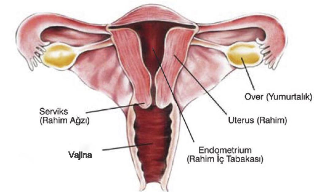 Kadın Üreme Organları